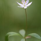 Arctic Starflower by OldaSimek