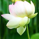 Lotus Flower - Big Bone Lick Gardens, Kentucky by Jeanne Sheridan