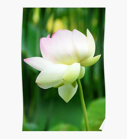Lotus Flower - Big Bone Lick Gardens, Kentucky Poster