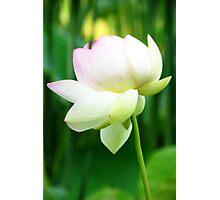 Lotus Flower - Big Bone Lick Gardens, Kentucky Photographic Print