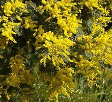 Golden Wattle by BlueWrenArt