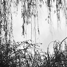 weeping willows (3) by amey fischer
