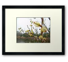 Pussy Willow Blossoms Framed Print