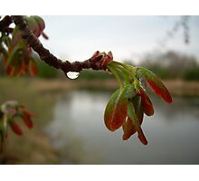 Red Maple Seed Pods at Dawn Photographic Print