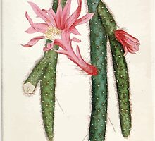 The Botanical magazine, or, Flower garden displayed by William Curtis V1 V2 1787 1789 0040 Cactus Flagelliformis, Creeping Cactus by wetdryvac
