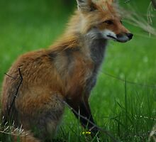 Red Fox 2 by ngrant