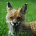 Red Fox 3 by ngrant