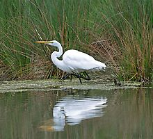 High Steppin Egret  by Monte Morton