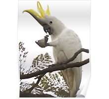 Sulfur-crested cockatoo flares its comb Poster