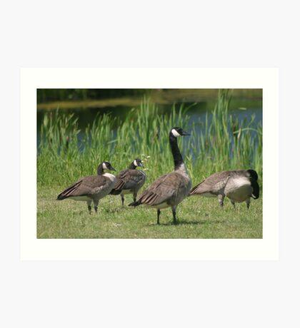Canadien Geese Art Print