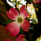 Dogwood flower by carlosramos