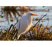 Days End Egret  Photographic Print