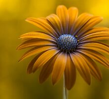 Cape Daisy by Mandy Disher