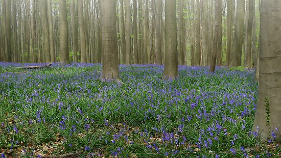 Hallerbos Blues by Peter Zentjens