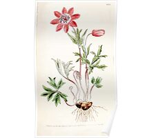 The Botanical magazine, or, Flower garden displayed by William Curtis V3 V4 1790 1791 0110 Anemone Hortensis, Star Anemone or Broad Leaved Garden Anemone Poster