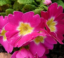 I'm just a primrose really! by Braedene