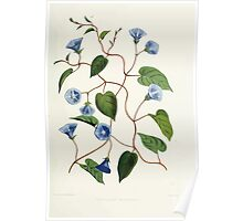 Familiar Flowers of India With Colored Plates, Lena Lowis 0085 Gonvolvulus Pentanthus Poster