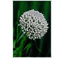 Humble Garlic Flower.. Photographic Print