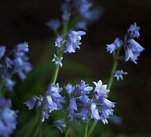 Spanish Bluebells (Hyacinthoides hispanica) by Elaine Teague