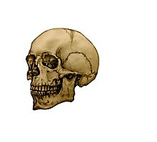 Anatomical Adult Skull Photographic Print