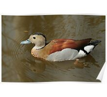 Ringed Teal (male) Poster