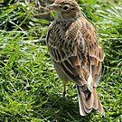 Skylark by Robert Abraham