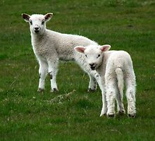 Playful Spring Lambs by AngelaFoster