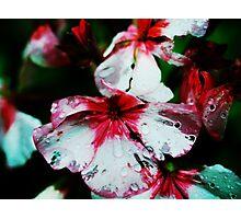 Pelargonium Photographic Print