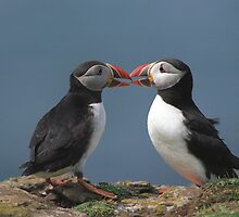 Two puffins in love, Lunga Island,Scotland by leksele