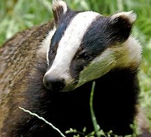 Mr Brock the Badger by Dave  Knowles