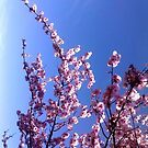 Cherry blossoms on my home tree by MetaKrissi