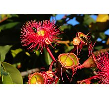 Red Flowering Gum with Bee & Fly Photographic Print