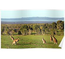 The roos are in the top paddock! Poster