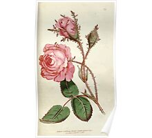 The Botanical magazine, or, Flower garden displayed by William Curtis V1 V2 1787 1789 0150 Rosa Muscosa, Moss Rose Poster