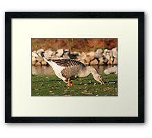 Goose in the Sun Eating Framed Print