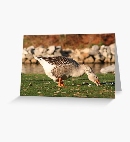 Goose in the Sun Eating Greeting Card