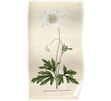 The Botanical magazine, or, Flower garden displayed by William Curtis V1 V2 1787 1789 0120 Anemone Sylvestris, Snowdrop Anemony Poster