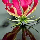 Gloriosa Lilly by Nala