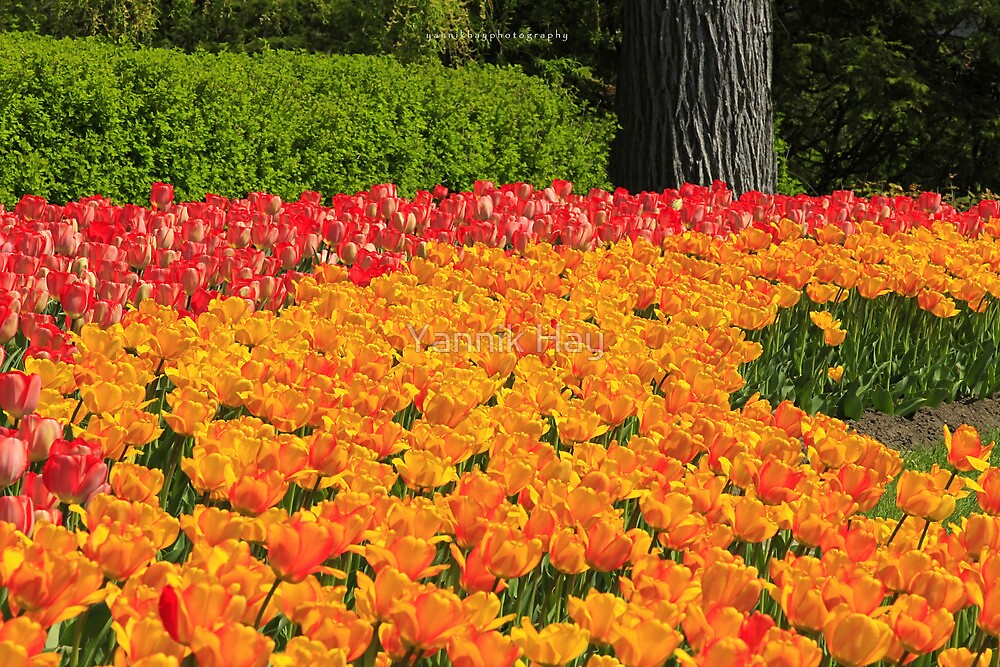 Bed of Tulips, Ottawa, Ontario by Yannik Hay