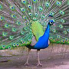Strutting his stuff.. by Elaine Game
