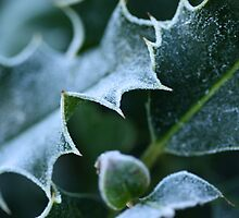 Winter Frost on Holly by Jayne Le Mee