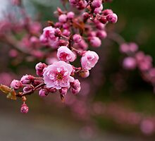 Cherry Blossoms by photodivaanna