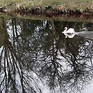 113 - SWAN AT MORPETH (D.E. 2010) by BLYTHPHOTO