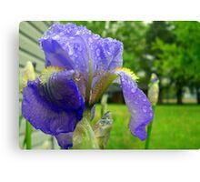 First Iris Bloom of the Season Canvas Print