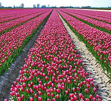 Other colors but the same flowers: Tulips.....!! by Adri  Padmos
