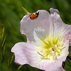 Ladybug on Primrose by Colleen Drew