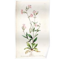 The Botanical magazine, or, Flower garden displayed by William Curtis V3 V4 1790 1791 0088 Silene Pendula, Pendulous Catchfly Poster