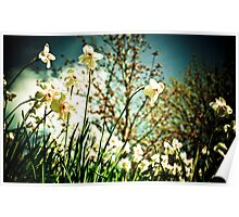 Field of White Daffodils Poster