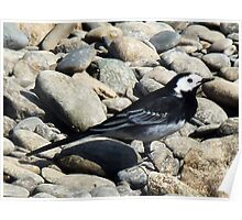 Pied Wagtail. Poster
