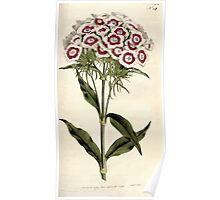 The Botanical magazine, or, Flower garden displayed by William Curtis V5 v6 1792 1793 0133 Dianthus Barbatus, Breaded Pink of Sweet William Poster